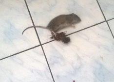 Șobolanii invadează căminele de la Cuza